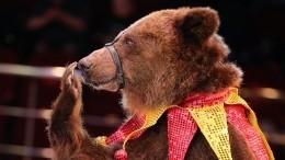 Нападение медведя набеременную ассистентку ворловском цирке попало навидео